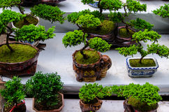 Bonsai. Some Bonsai trees in  pot Royalty Free Stock Images