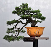 bonsai sosna Obrazy Royalty Free