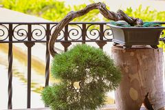 bonsai sosna wiecznozielona miniaturowa fotografia royalty free
