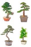 bonsai sosna wiecznozielona miniaturowa Obrazy Royalty Free