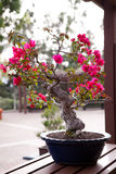 bonsai sosna wiecznozielona miniaturowa Fotografia Stock