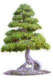bonsai sosna wiecznozielona miniaturowa Obrazy Stock