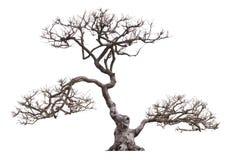 bonsai sosna wiecznozielona miniaturowa Obraz Royalty Free