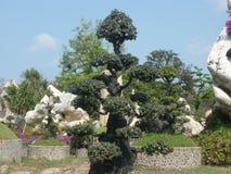 bonsai sosna wiecznozielona miniaturowa Zdjęcie Stock