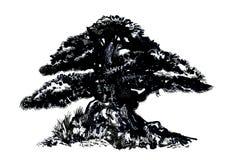 bonsai sosna wiecznozielona miniaturowa Nakreślenie barwiony drewno obrazy royalty free