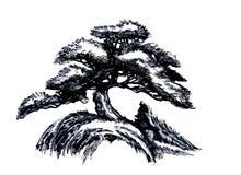 bonsai sosna wiecznozielona miniaturowa Nakreślenie barwiony drewno zdjęcie stock