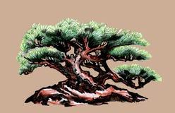 bonsai sosna wiecznozielona miniaturowa Nakreślenie barwiony drewno zdjęcia royalty free