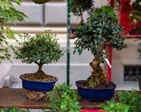 Bonsai are miniature trees, which are intentionally kept dwarfs, even for many years, through pruning and root reduction. royalty free stock photo