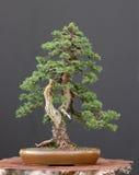 bonsai spruce Arkivfoto