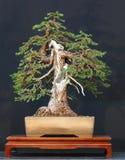 bonsai spruce Arkivbilder