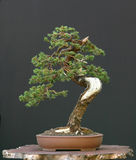bonsai spruce Royaltyfria Bilder