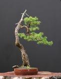 bonsai spruce Arkivbild
