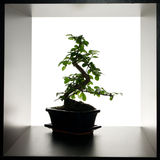 Bonsai and squares Royalty Free Stock Photography