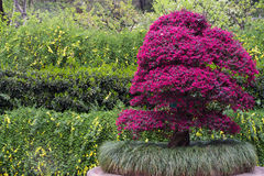 Bonsai Stand Out among Green Leaf Tree. A Bonsai Stand Out among Green Leaf Tree Royalty Free Stock Photo