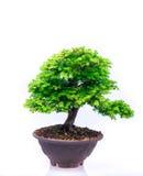 Bonsai su fondo bianco Fotografia Stock Libera da Diritti