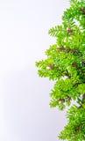 Bonsai su fondo bianco Immagine Stock