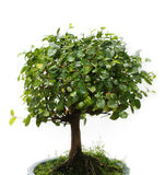 Bonsai su priorità bassa bianca Fotografia Stock