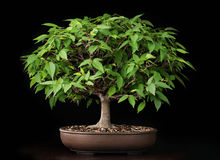 Bonsai summer elm tree Stock Image