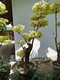 Bonsai taman royalty free stock image