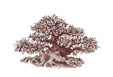 Bonsai, Thick leafy mini - tree. Tree bonsai, A drawing of an old bonsai with leaves, a lush crown Royalty Free Stock Photography