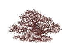 Bonsai tjock lövrik kortkort - träd Royaltyfri Fotografi