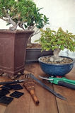 Bonsai with tools Stock Image