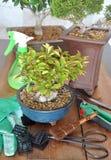 Bonsai with tools Stock Photos