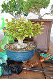 Bonsai with tools Stock Photo