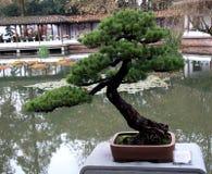 Bonsai (tradycyjna forma sztuki) Obraz Royalty Free