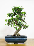 Bonsai tree. Old bonsai elm with 13 years old Royalty Free Stock Images