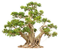 Bonsai Tree. Isolated on white background Stock Image