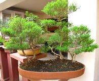 Bonsai tree. A bonsai tree in a bonsai garden in india Royalty Free Stock Photography