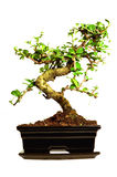 Bonsai tree. With white background Royalty Free Stock Photos