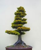 Bonsai tree. In an oval pot Royalty Free Stock Photography