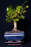 Bonsai tree. A bonsai tree in a pot on a painted background with a shaft of light Stock Images
