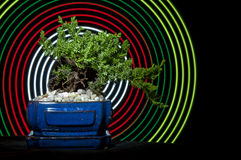 Bonsai Tree. Wiith abstract concentric circles behind it Stock Photography