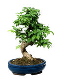 Bonsai Tree Stock Images