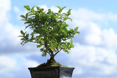 Bonsai tree. A bonsai tree in a pot  against blue sky Stock Images