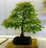 Bonsai tree. Some pics taken during a bonsai show fair in Italy Stock Photography