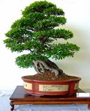 Bonsai tree. Some pics taken during a bonsai show fair in Italy Stock Photo