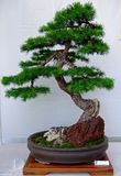 Bonsai tree. Some pics taken during a bonsai show fair in Italy Royalty Free Stock Images