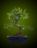 Bonsai tree Royalty Free Stock Images