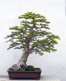 Bonsai tree stock photography