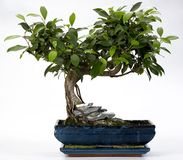 Bonsai Tree. In ceramic pot isolated on white stock photography