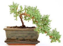 Bonsai tree. In the pot-step two Royalty Free Stock Image