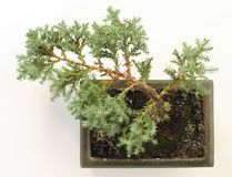 Bonsai tree. View from the top Stock Photography