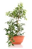 Bonsai tree Royalty Free Stock Image