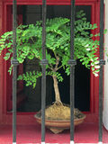 Bonsai tree. In window behind bars royalty free stock photography
