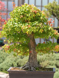Bonsai Tree. Stock Photos