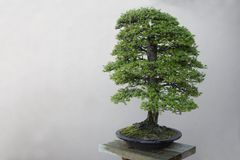 Bonsai tree. Bonsai,Japanese Garden tree, Cryptomeria stock photo